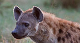 Student Research - Behaviour of Spotted Hyenas