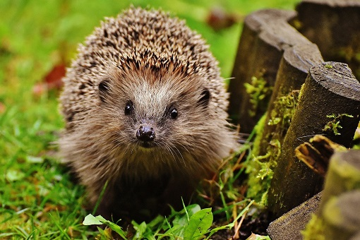 Image for press release - WUC creates hedgehog friendly campus